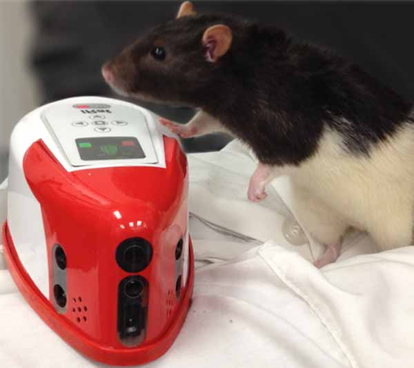 iRat, a robotic rodent, may help researchers develop robots better equipped to interact with humans. Photo by Andrea Chiba.